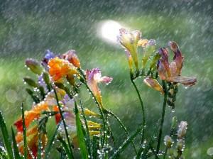 1 déšť Freesia-in-the-Spring-Rain_Wallpaper